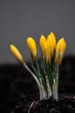 Желтый пук крокуса Стоковые Фотографии RF