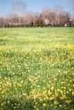 Желтый рапс поля в цветени весной Стоковое фото RF