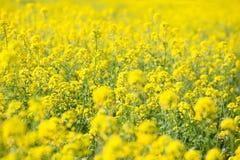 Желтый рапс поля в цветени весной Стоковое Изображение