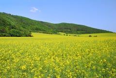 Желтый рапс поля в цветени Стоковая Фотография