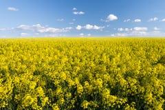 Желтый рапс поля в цветени Стоковые Фото