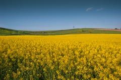 Желтый рапс поля Стоковые Фото