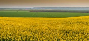 Желтый рапс поля Стоковое фото RF