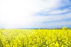 Желтый рапс поля Стоковые Изображения RF