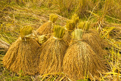 желтый рис в ферме Стоковое Изображение RF