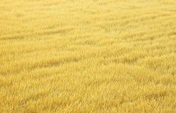 Желтый рис стоковое изображение rf