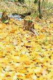 Желтый сор кленового листа вокруг пня Стоковые Фото