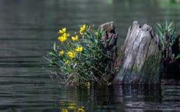 Желтый солнцецвет болота Tickseed, охраняемая природная территория соотечественника Okefenokee Стоковая Фотография RF