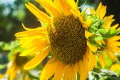 Желтый солнцецвет с зелеными листьями Стоковая Фотография