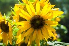 Желтый солнцецвет с зелеными листьями Стоковые Фотографии RF