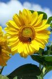 желтый солнцецвет Стоковое Фото