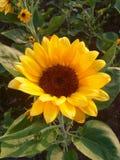 желтый солнцецвет Стоковые Фотографии RF