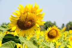 желтый солнцецвет Стоковые Фото