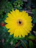 желтый солнцецвет Стоковая Фотография RF