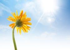 желтый солнцецвет gerbera дает жизнерадостное чувство Стоковая Фотография