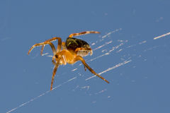 Желтый спайдер Стоковые Фото