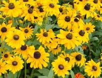 Желтый стоцвет цветет в домашнем саде в сезоне лета стоковое фото