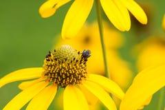 Желтый стоцвет Стоковые Фото