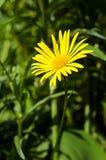 Желтый стоцвет Стоковая Фотография