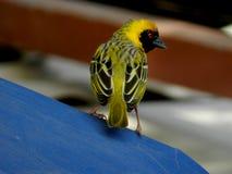 Желтый ткач Стоковые Фото