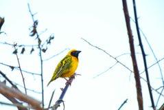 Желтый ткач Стоковая Фотография
