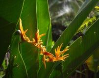 Желтый тропический цветок в джунглях Красивый экзотический завод в саде Стоковая Фотография RF