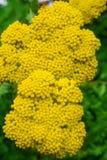 Желтый тысячелистник обыкновенный Стоковые Изображения RF