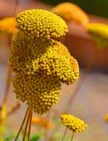 Желтый тысячелистник обыкновенный Стоковое Изображение