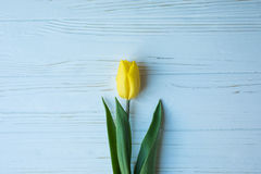 Желтый тюльпан на голубой деревянной предпосылке, романтичная зацветая карточка для ` s дня рождения, годовщины, валентинки, ` s  Стоковая Фотография