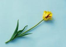 Желтый тюльпан на голубой предпосылке стоковая фотография