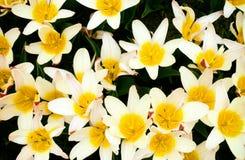 Желтый тюльпан сверху стоковые фото