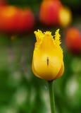 Желтый тюльпан сидя с москитом стоковое фото