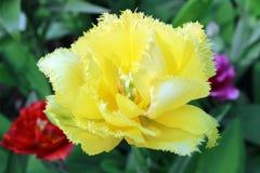 Желтый тюльпан стоковые фото