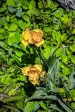 Желтый тюльпан Стоковое Фото