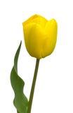 Желтый тюльпан Стоковое фото RF