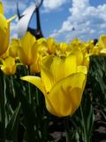 Желтый тюльпан Стоковая Фотография
