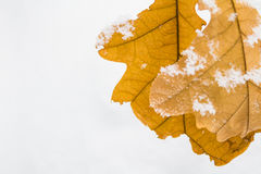 Желтый дуб выходит на предпосылку белого снега Стоковая Фотография