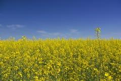Желтый луг рапса Стоковое Изображение RF