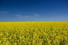 Желтый луг Стоковая Фотография RF