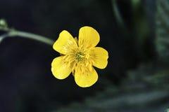 Желтый утенок цветка весны Стоковая Фотография