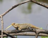 Желтый хамелеон Стоковые Фотографии RF
