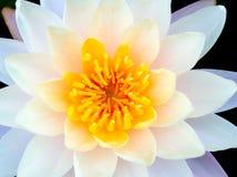 Желтый цветень Стоковые Фотографии RF