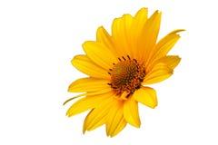 Желтый цветок артишока Иерусалима, topinambur, изолированное на белизне Стоковые Изображения RF