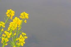 Желтый цветок весны Стоковое Фото