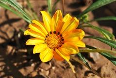 Желтый цветок весны Стоковая Фотография RF