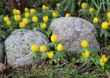 Желтый цветок весны erantis в саде с утесами Стоковая Фотография RF