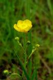 Желтый цветок ветреницы в луге весной Стоковая Фотография RF