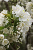 Желтый цветок вишни корналина Стоковые Изображения