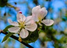 Желтый цветок вишни корналина Стоковые Фотографии RF