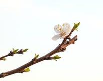 Желтый цветок вишни корналина Стоковая Фотография